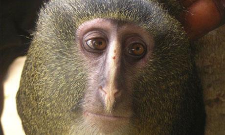 New monkey species identified in Democratic Republic of Congo 1