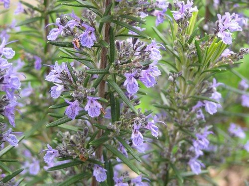 Can rosemary help you remember things ? 92