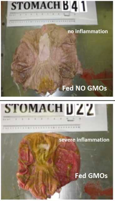 GMO feed turns pig stomachs to mush! Shocking photos!