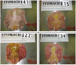 GMO feed turns pig stomachs to mush! Shocking photos! 33