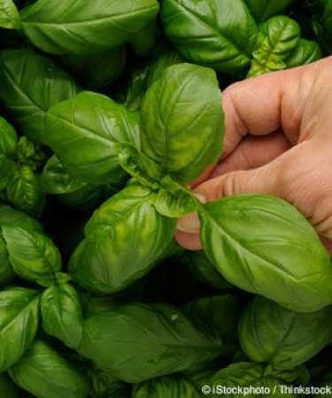 Health benefits of Basil 1