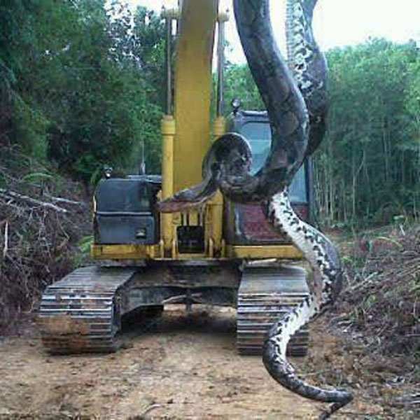 700-Pound Snake — Giant Snake Found In North Carolina, Facts And Photos 1