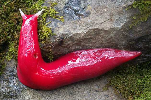 Giant, fluorescent pink slugs found on mountain 1