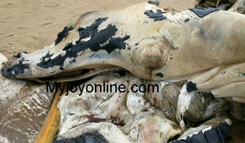 Mysterious sea creature washed ashore at a Jomoro beach 5