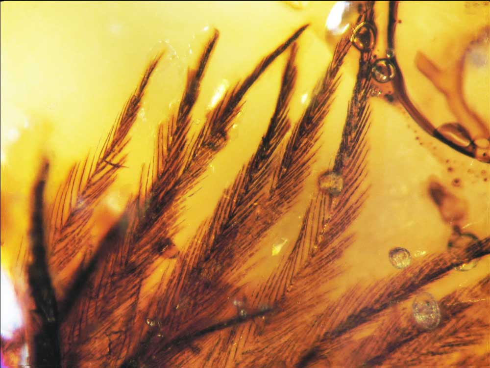 Dinosaur Feathers Discovered in Amber 95