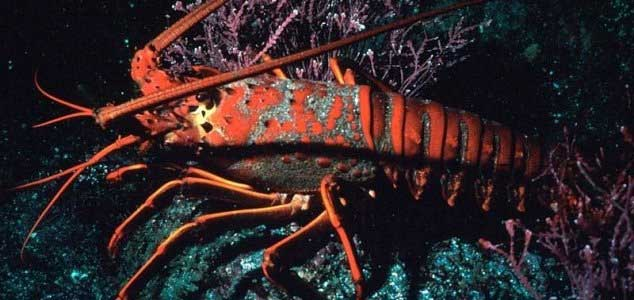 Are lobsters the key to immortality ? 30