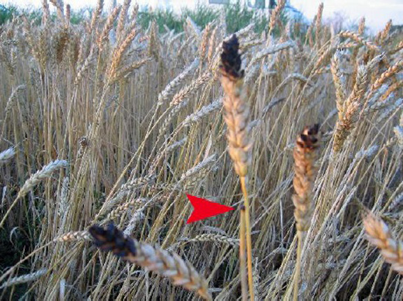 Blackened seed-heads in Aug.2, 2010 Dutch crop circle, which lab analyses proved were burned. Photo: Roy Boschman