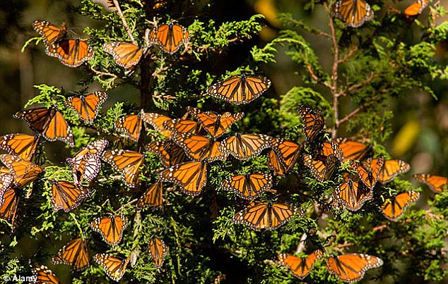 Millions of monarch butterflies, pictured, migrate 2,000 miles every year. In 1976, zoologists found them at the top of the 'Mountain of Butterflies' in Mexico. While scientists know the monarchs target 12 to 15 Mexican mountain sites, they don't know how they navigate there