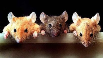 Scientists Discover Fountain Of Youth – Mice Now, Humans Later 1