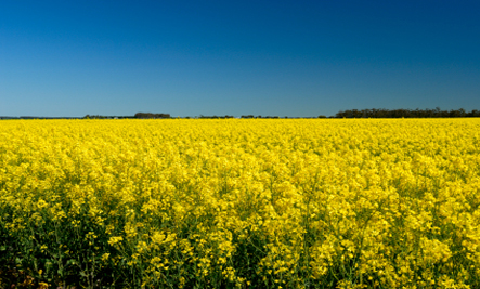 canola-fields-resized1