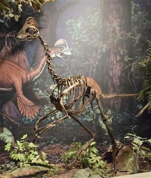A mounted replica skeleton of the new oviraptorosaurian dinosaur species Anzu wyliei on display in the Dinosaurs in Their Time exhibition at Carnegie Museum of Natural History in Pittsburgh