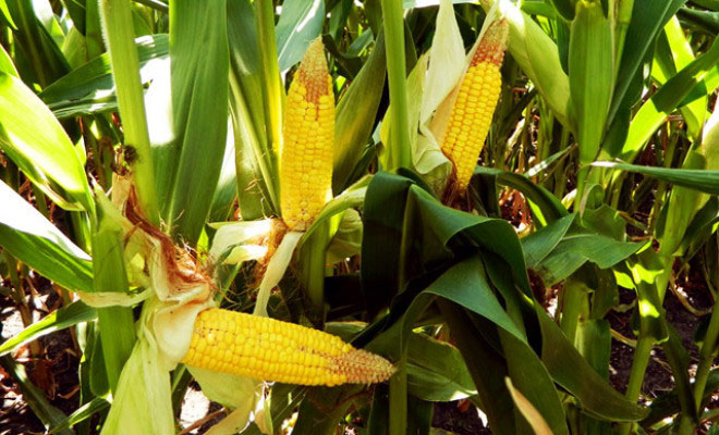 France bans all GMO corn, including Monsanto 22