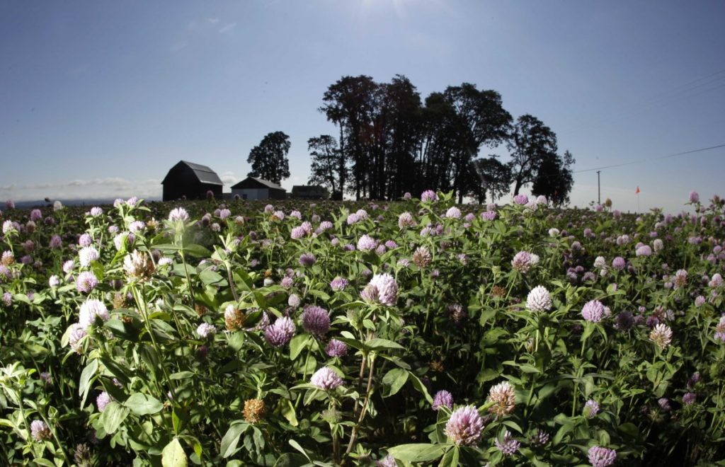 Bees are also valued for their honey. One crop, clover, is an importance source of nectar that bees must eat to produce honey. Lack of bees for pollination can mean the loss of the clover crop, and in turn, the bee's honey.