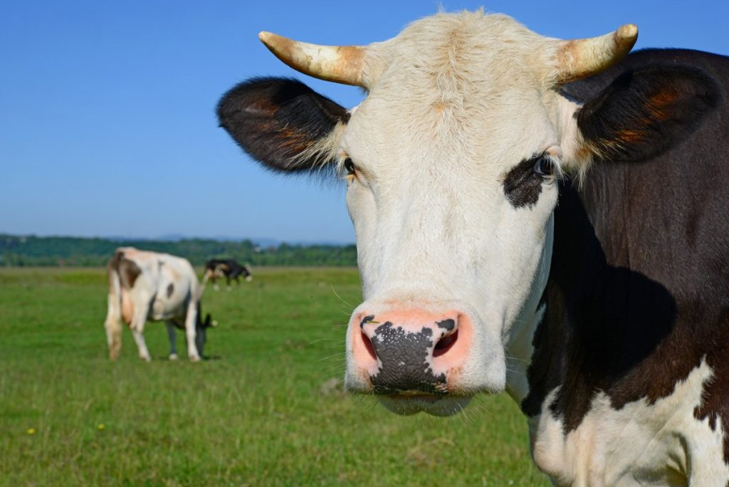 If cows don't get the proper nutrients, they can't produce milk.