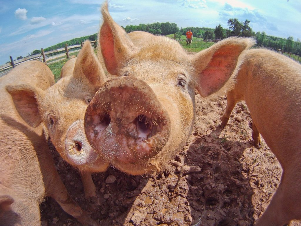 There will still be plenty of pigs since they don't eat much alfalfa.