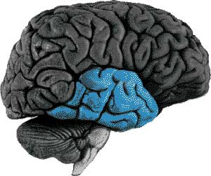 The-temporal-lobe
