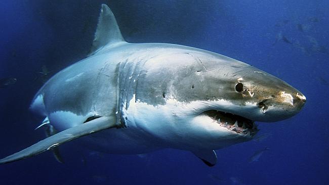 Giant shark eaten by mystery 'sea monster' 86