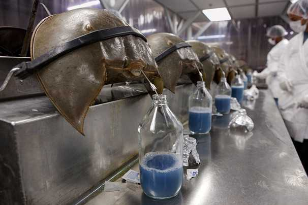 As above, so below? Horseshoe crabs harvested for their blue blood 1