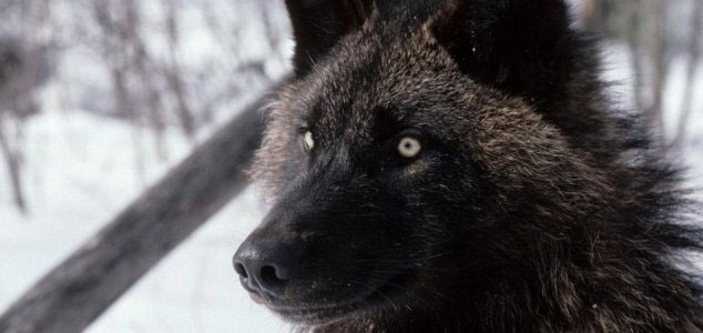 Islanders defend against 'werewolf' threat 96