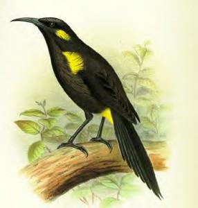 Bishop's o-o bird