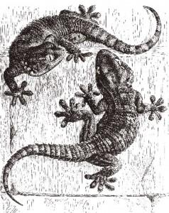 Wall Geckos
