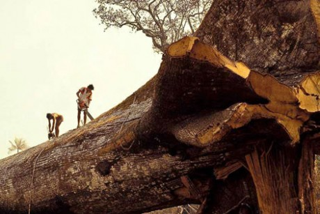 Loggers Accidentally Cut Down World's Oldest Tree In Amazon Forest 3