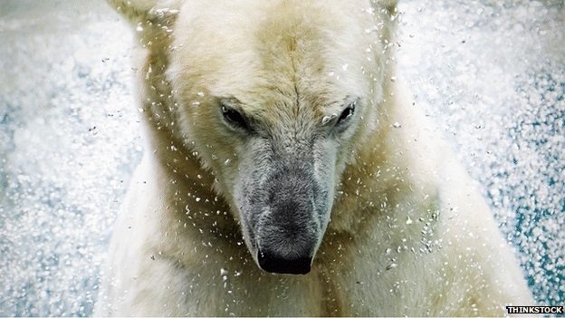 Sykes Team Error: Yeti DNA Matches Modern Polar Bear; BBC Compounds Error, Says It Was Himalayan Bear 24
