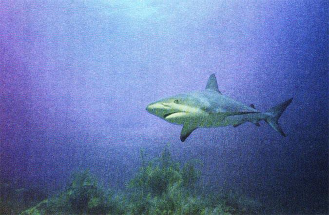 The shark–prey as well as predator