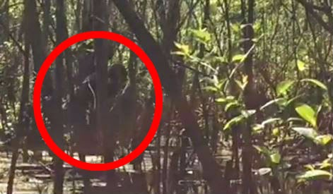 Breaking: Very Compelling Footage of Skunkape/Bigfoot From Lettuce Lake Park Florida 18