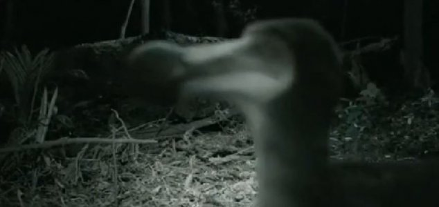 Has a live dodo been caught on camera ? 98
