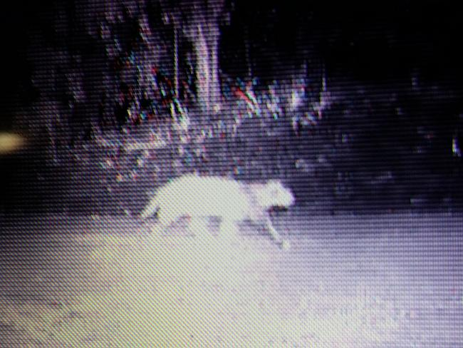 Is this photo proof Ourimbah panther exists?