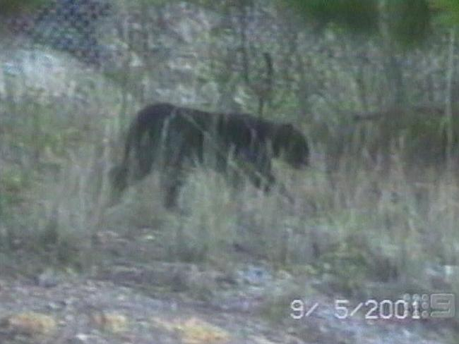 Bush beast ... The mysterious Lithgow Panther. Picture: Supplied