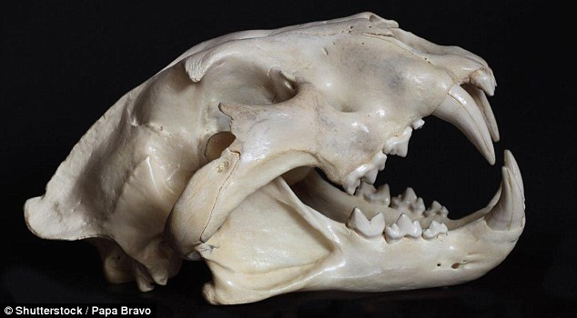 Fossils Reveal Giant Lions As Tall As A Human Roamed Kenya 200,000 Years Ago 95