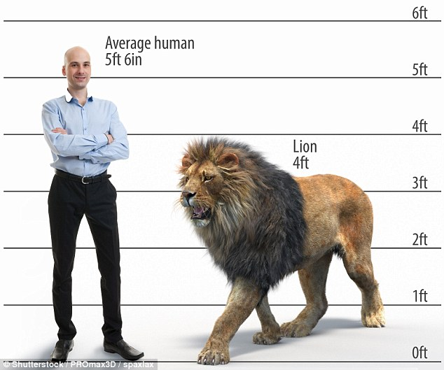 Fossils Reveal Giant Lions As Tall As A Human Roamed Kenya 200,000 Years Ago 94