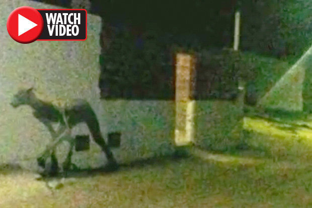 Did a 'werewolf' savage two dogs or was it a hoax? 16