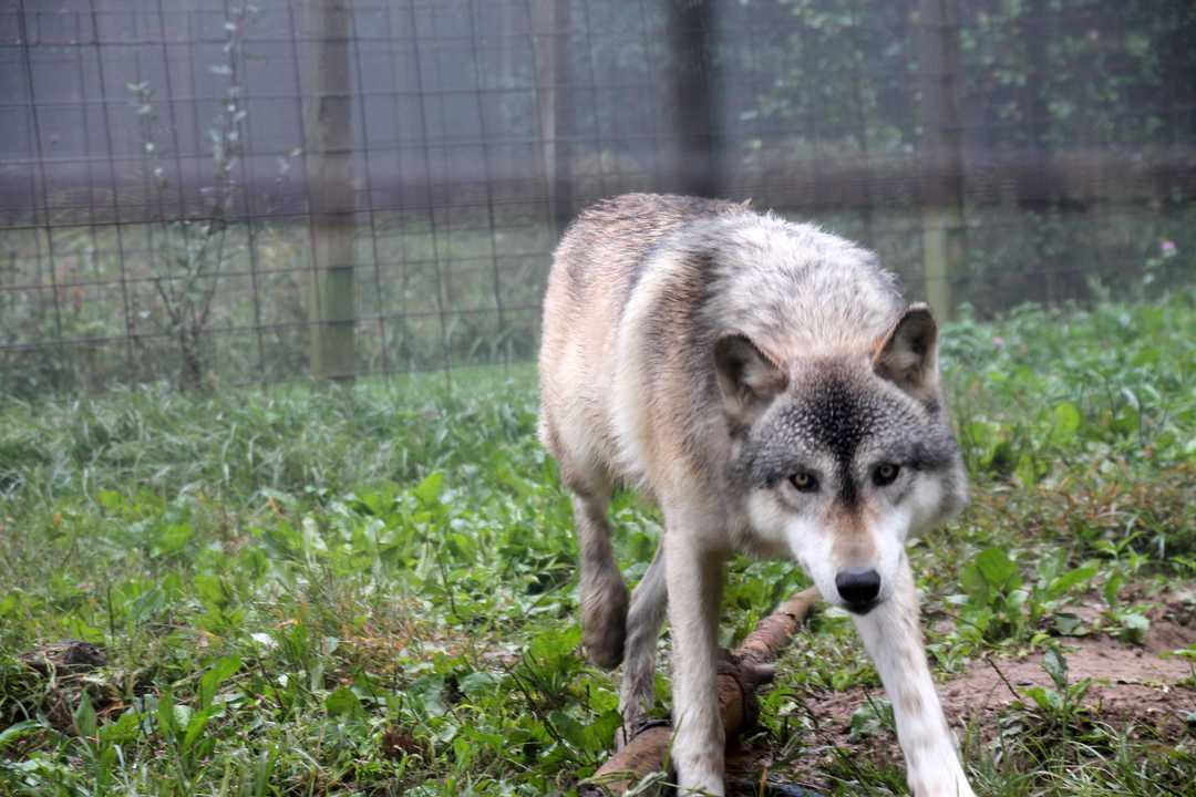 Crypto-canid or wolfdog? Mysterious wolf-like animal killed in Montana 101