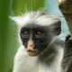 New Facial Recognition Software Tracks and Protects Endangered Primates 93