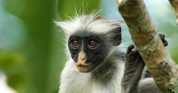 New Facial Recognition Software Tracks and Protects Endangered Primates 12