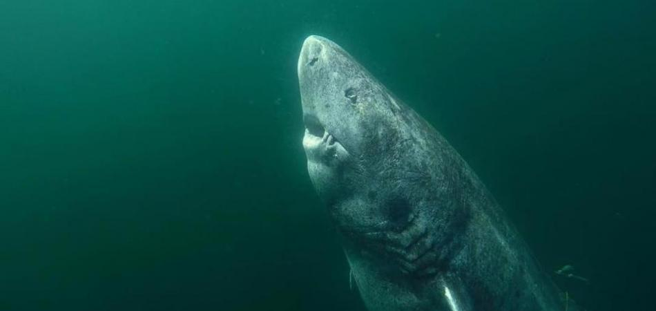 This Ancient Shark Is 500 Years Old And Was Born Before Shakespeare 5