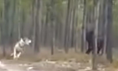 Massive Black 'Dire Wolf' Chases Dog - Who created this HUGE Creature? 93