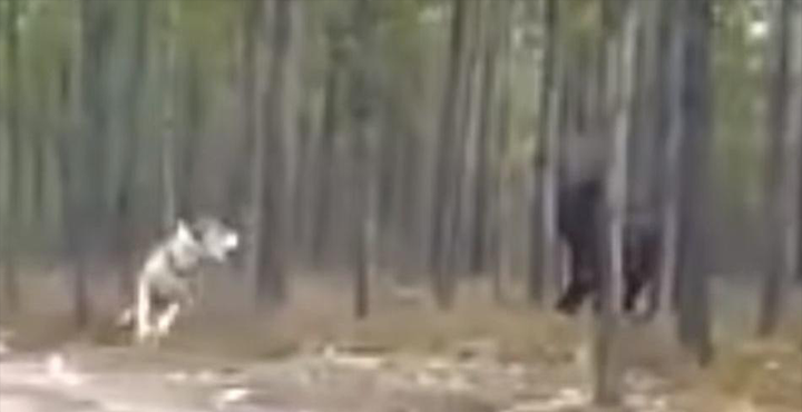 Massive Black 'Dire Wolf' Chases Dog - Who created this HUGE Creature? 86