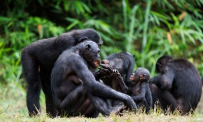 Previously Unknown 'Ghost' Chimp Species Discovered  95