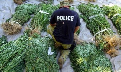 Why Has Marijuana Been Outlawed? The Real Reasons Are Worse Than You Think… 87