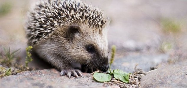 Two intoxicated hedgehogs rescued in Germany 1