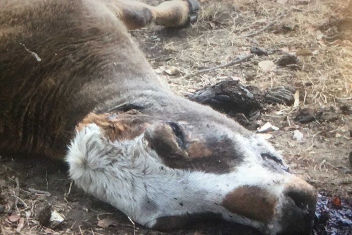 Photos show unexplained cattle mutilation in Australia - Dead cows found in paddock with udders, ears and tongues removed 19