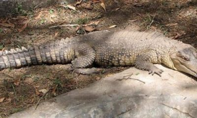 New species of crocodile discovered in Africa 93