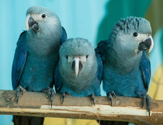 Blue Macaw Parrot Known From The Movie 'Rio' Is Now Officially Extinct 4