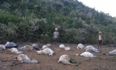At least 50 cows suddenly drop dead in east coast of India 116
