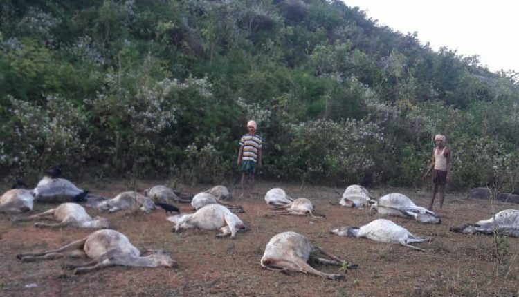 At least 50 cows suddenly drop dead in east coast of India 1