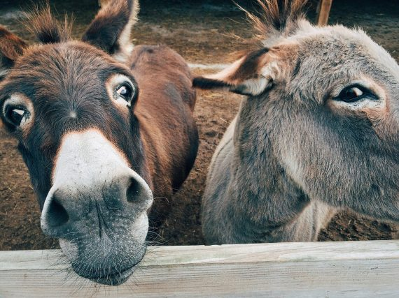 Mysterious Llama-Killing Creature May Be Murdering Donkeys in Kentucky 95